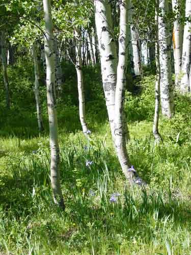 Aspen Grove and Iris near Buckles Lake
