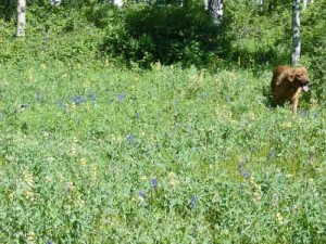 Our Golden Retriever in a field of flowers